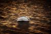 'Chimera' (Jonathan Casey) Tags: sunset golden sleep whooper swan nikon 400mm f28 vr