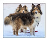 Best Pals (windshadow2) Tags: dog dogs shetland sheep
