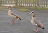 EGYPTIAN GEESE in COUNTRY PARK_DSC_7708_LR_2.5 (Roger Perriss) Tags: countrypark geese rothervalleypark egyptiangeese goose birds much idea