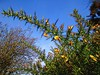 Sliding into Spring HSS! (JulieK (thanks for 6 million views)) Tags: hss gorse flower bluesky wildflower sliderssunday ireland irish 2018onephotoeachday beautifulnature postprocessed topazglow canonixus170 ulexeuropaeus 100flowers2018