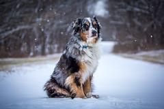 Mr. Boomer (Browtine1) Tags: snowing snow austrailian aussie shepherd dog canine herding blue merle mans best friend