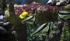 Underwater (Paula Darwinkel) Tags: aquarium fishtank reef saltwater ocean fish sea sealife color nature animals wildlife