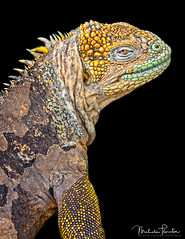 Darwin's Godzilla (Malcolm Thornton Photography) Tags: ifttt 500px iguania galapagos land iguana animal animals headshot wildlife reptiles head face lizard galápagos province ecuador colorful wild south america colourful reptile instagram life iguanidae godzilla spiny islands north seymour isla norte island archipiélago de colón omnivore omnivorous eastern pacific ocean volcanic scaled conolophus subcristatus