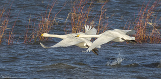 Whoopers At Welney