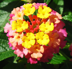 Lantana Beauty by My Lovely Wife (Puzzler4879) Tags: flowers flower lantana lantanacamara colorfulflowers bbg brooklynbotanicgarden botanicgardens publicgardens flowercloseups flowerscloseup a580 canona580 powershota580 canonpowershota580 canonpowershot powershot canonphotography canonpointandshoot pointandshoot