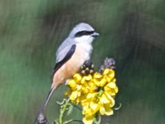 BVR_8469 (Bird Brian) Tags: longtailedshrike