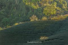 _Y2U0895.0118.Nậm Tôm.Tân Lập.Mộc Châu.Sơn La (hoanglongphoto) Tags: asia asian vietnam northvietnam northwestvietnam landscape scenery vietnamlandscape vietnamscenery vietnamscene hillside teatree teahill afternoon sunlight sunny sunnyafternoon trees mocchaulandscape hdr canon canoneos1dx canonef70200mmf28lisiiusm tâybắc sơnla mộcchâu nậmtôm phongcảnh phongcảnhmộcchâu đồichè đồichèmộcchâu sườnđồi buổichiều nắng nắngchiều mắngxiên