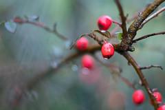 berberis (s.niewiarowska) Tags: berberis winter mist garden podlasie nature