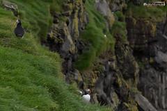 Lundi (dieLeuchtturms) Tags: lunde alkenvögel ingólfshöfði europa austurland island 3x2 wirbeltiere regenpfeiferartige skeiðarársandur papageitaucher europe fraterculaarctica iceland puffin is