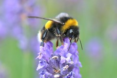 Impaled on lavender..... (markwilkins64) Tags: bee lavender nature canon
