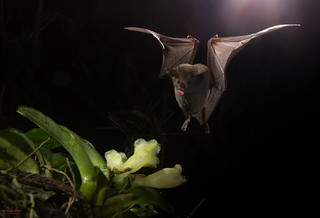 Common Long-tongued Bat in flight feeding from flowers