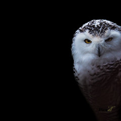 Uil, owl (Picsall Photography) Tags: uil sneeuwuil snowowl harfangdesneiges picsall picsallphotography animalphotographer animalphotography wwwpicsallnl wanddecoratie walldecoration forsale tekoop