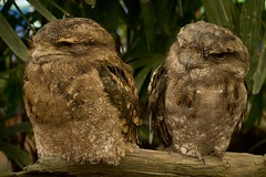 IMG_2023 Wetlands Zoo Frogmouths_1 (Scotus5) Tags: birds frogmouth queensland