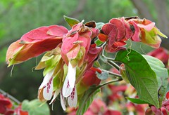 Shrimp Flowers! ('cosmicgirl1960' NEW CANON CAMERA) Tags: flowers worldflowers nature parks gardens marbella spain espana andalusia costadelsol travel holidays green yabbadabbadoo red