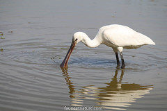 Spatule blanche (fauneetnature) Tags: spatuleblanche spatule oiseaux ornithology ornithologie oiseau birds bird animalier animaux animals animal leteich