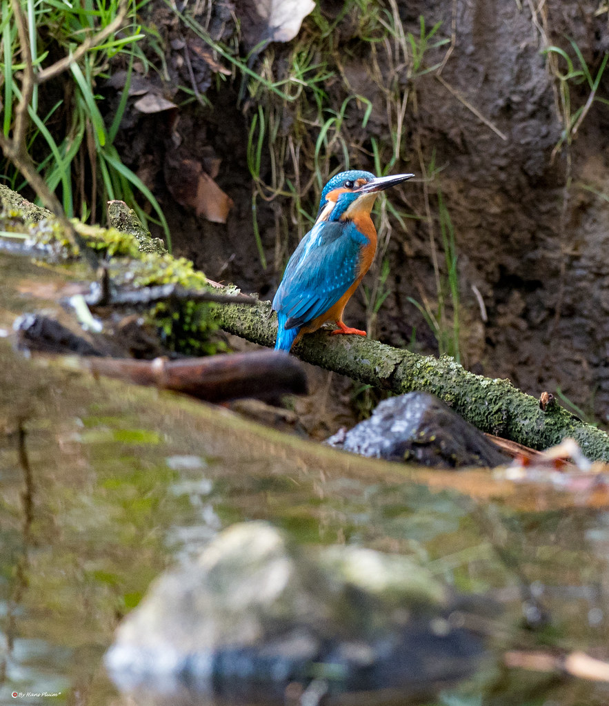 883 x 1024 jpeg 411kBCommonkingfisher