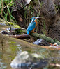 Common kingfisher  (Alcedo atthis) (Hans Pluim) Tags: commonkingfisher eurasiankingfisher riverkingfisher small birds bird nature outdoor wing wildlife fauna europe quivive shorttailed largeheaded concentrating eyes careful watch orange red black watchful alert wakeful netherlands delicate beauty blue view look fragility lake flora plants floodplain observe lookat colorful flamboyant colourful