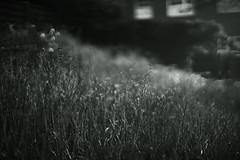 spring light (Amselchen) Tags: bokeh blur dof depthoffield mono monochrome bnwblackandwhite light shadow grass season spring sony a7rii alpha7rm2 sonyilce7rm2 zeiss carlzeiss m42 zs planar planar5014zs planar1450 planar1450tzs