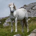 Irish Horse thumbnail
