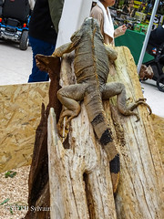 Animal Expo 2017-189 (Flashouilleur Fou) Tags: animal expo expositions exposition animalexpo 2017 paon chien chat cat dog puppet pet oiseau poisson crevette rat souris mouse rescue association dogue persan meicoon chartreux dalmatien caméléon lésard lizard pogona reptiles amphibien mamifere paris îledefrance france fr