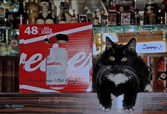 """DECEMBER 31st - """"Happy New Year"""" HAVE A BUDWEISER BEER WITH ZORRO !  ( Montreal - Quebec ) (Guy Lafortune) Tags: black white cat whiskers legs ears can budweiser beer publicity bar oreilles pattes pieds feet chat noir blanc moustache sourcils bière publicité coup agréable yeux eyes zorro décembre 31st december holidays winter hiver gattino gatito félin feline new year nouvelle année pet drinks drunk compagnion closeup macro kitten docile dissipliné"""