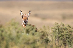 Peek-a-boo... (DTT67) Tags: pronghorn canon mammal grandtetons yellowstone nature wildlife 500mm 1dxmkii canon1dxmkii