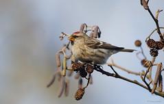 Grote Barmsijs - Common Redpoll - Carduelis flammea -2939 (Theo Locher) Tags: commonredpoll grotebarmsijs birkenzeisig sizerinflammé carduelisflammea birds vogels vogel oiseaux netherlands nederland copyrighttheolocher