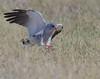 Southern Pale Chanting Goshhawk-0213 (dennis.zaebst) Tags: africa namibia etosha etoshanp raptor bird wild animal naturethroughthelens