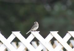 dark-eyed junco visitor (Moon Rhythm) Tags: bird gray white juncohyemalis visitor sparrow pinkbill whitebelly grayupperparts junco easternshore maryland solo rural backyard january 38075h8