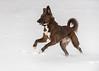 A Good Day (piano62) Tags: dogs dogrescue mansbestfriend anticrueltychicago unconditionallove fun run jump snow comic chicago nikond750 nikon70200f28vr