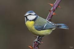Cinciarella (Polpi68) Tags: cinciarella bird birds birdwatching nature