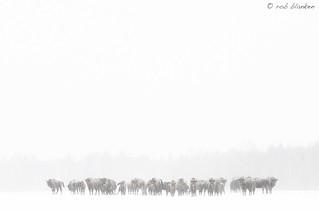 European Bison (3)
