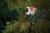 1 - 2 - 3.... fly (klaus.huppertz) Tags: walsrode vogel vögel bird tier animal natur nature outdoor baum tree rosa roseatespoonbill spoonbill löffler rosalöffler plataleaajaja ajaiaajaja flügel wing birdpark vogelpark weltvogelpark nikon nikond750 d750 nikkor 300mm tele telephoto 300mmf28gvrii nikkor300mm28 nikonafsvrnikkor300mmf28gifed nikonafsnikkor300mmf28gedvrii
