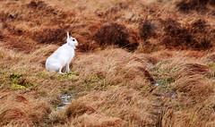 Mountain Hare. (Chris Kilpatrick) Tags: chris canon canon7dmk2 sigma150mm600mm sigma outdoor nature mountain isleofman mountainhare signsofspring springwatch animal