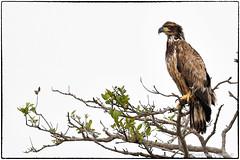 Juvenile bald eagle (RKop) Tags: alafiabnaks tampa florida raphaelkopanphotography d500 nikkor600f4evr handheld