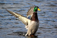 Mallard - Sprotbrough Flash - 2018-02-12 (BillyGoat75) Tags: mallard duck anasplatyrhynchos nature pond sprotbroughflash yorkshirewildlifetrust doncaster southyorkshire