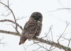 Great Gray Owl (Laura Erickson) Tags: strigidae birds stlouiscounty species strigiformes greatgrayowl places minnesota strixnebulosa
