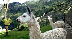 Llama of Machu Picchu , Peru - P3025012 (Toby Garden) Tags: machu picchu llama wild chinchilla