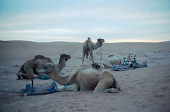 Camels at sunset (AnniversaryRoad) Tags: 135 35mm 400 400asa 400iso 50mm africa arab bedouin camel ergchebbi kodak kodakportra leica leicam6 leitz m6 moroccan morocco portra portra400 sahara summicron thesahara analog analogphotography analogue camels clouds cloudy color colour desert dusk film filmgrain filmphotography magichour night nomad nomadic outdoor outdoors outside portrait rangefinder sky street streetphotography sunset traditional