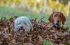 Autumn :) (Torok_Bea) Tags: autumn pulidog vizsladog vizsla hunde hund sigma nikon nikond5500