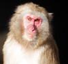 japanese macaque artis BB2A7640 (j.a.kok) Tags: mammal artis animal aap primaat primate monkey makaak macaque macaca japanesemacaque japansemakaak zoogdier dier asia azie