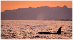 Female Orca surfacing (tommerchant1) Tags: andenes norway whale orca orcas wildlife nature sunset sea sealife killerwhale winter seascape scenery outdoors wildlifephotography nikon