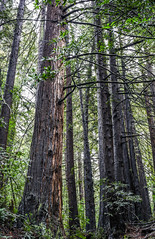 redwood canopy (pbo31) Tags: bayarea california color nikon february 2018 winter boury pbo31 eastbay alamedacounty forest trees earth nature fog canopy oakland park redwoods bush green brown
