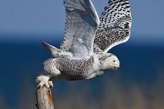 DSC_9404_edit (Hanzy2012) Tags: toronto ontario canada lesliestreetspit tommythompsonpark d500 afsnikkor500mmf4difedii bird wildlife teleconverter tc20eii snowyowl buboscandiacus nature wild
