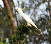 High & Mighty (Pamela Jay) Tags: cockatoo nature white pamelajay australia nsw