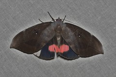 DSC_1597 (Pasha Kirillov) Tags: indonesia geo:country=indonesia papua rajaampat lepidoptera taxonomy:order=lepidoptera moth