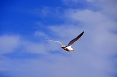 DSC_0325 (watchfuleyephoto) Tags: beach shore shoreline longisland newengland rocks pebbles sailboat sailing sand seagull seagulls gull