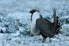 Greater Sage-Grouse (palmchat) Tags: colorad bird grouse christiannunes lekking lek chickens wildchickens chickendance greatersagegrouse sagegrouse centrocercusurophasianus