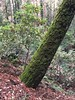 Marvelous Moss (Jill Clardy) Tags: trunk moss mossy emerald green wunderlich county park san mateo woodside ca california trail hike hiking 365the2018edition 3652018 day12365 12jan18 trails