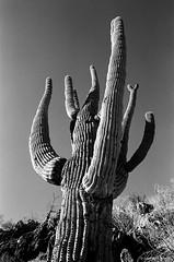 Saguaro National Park (dpsager) Tags: arizona bw blackwhite cactus dpsagerphotograph eos1v film kodak nationalpark saguaro saguaronationalpark trix400 tucson